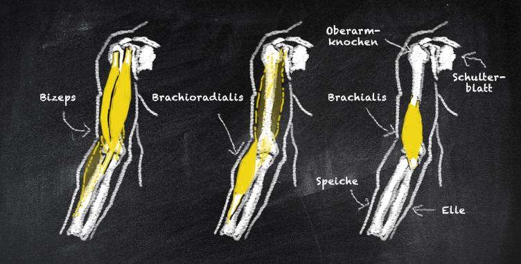 BC_Anatomie